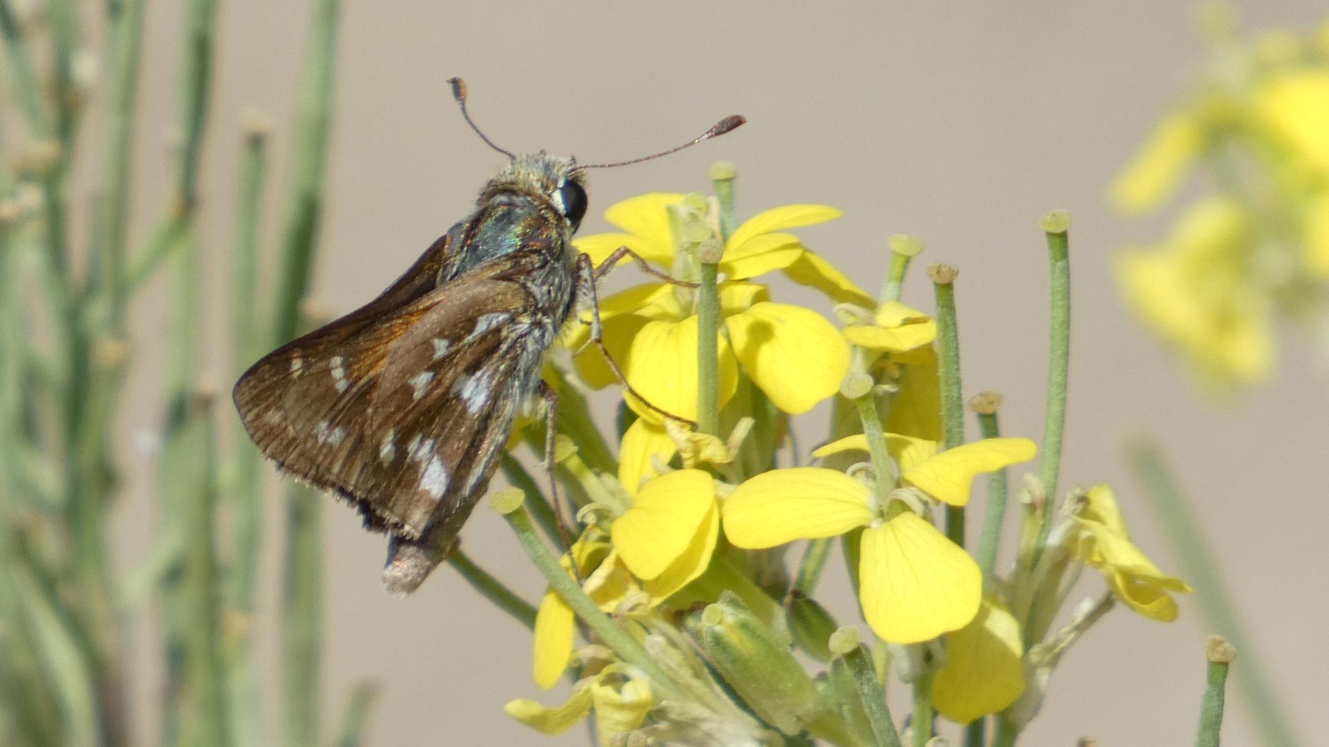 On western wallflower, Sandia Mountains west foothills, August 2021