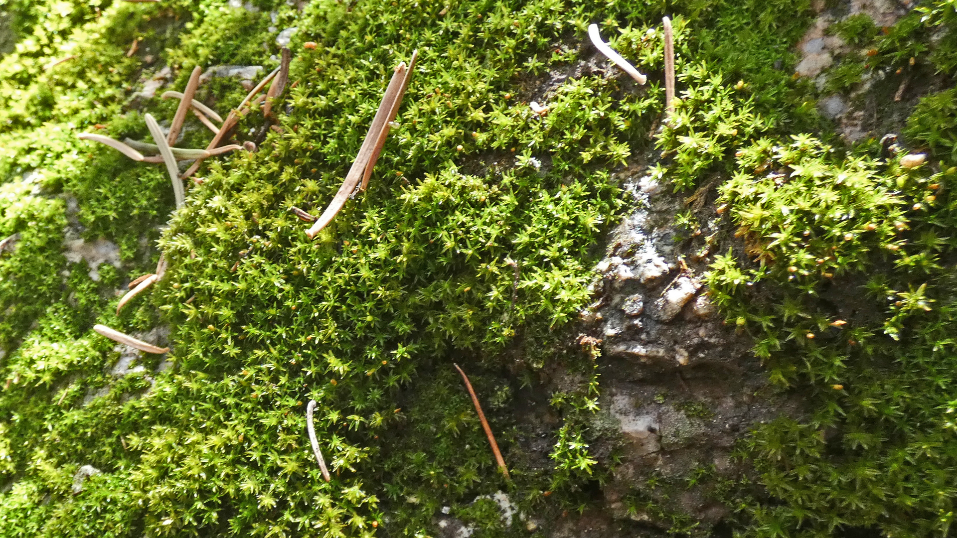 Moss on granite, with fir needles for scale.