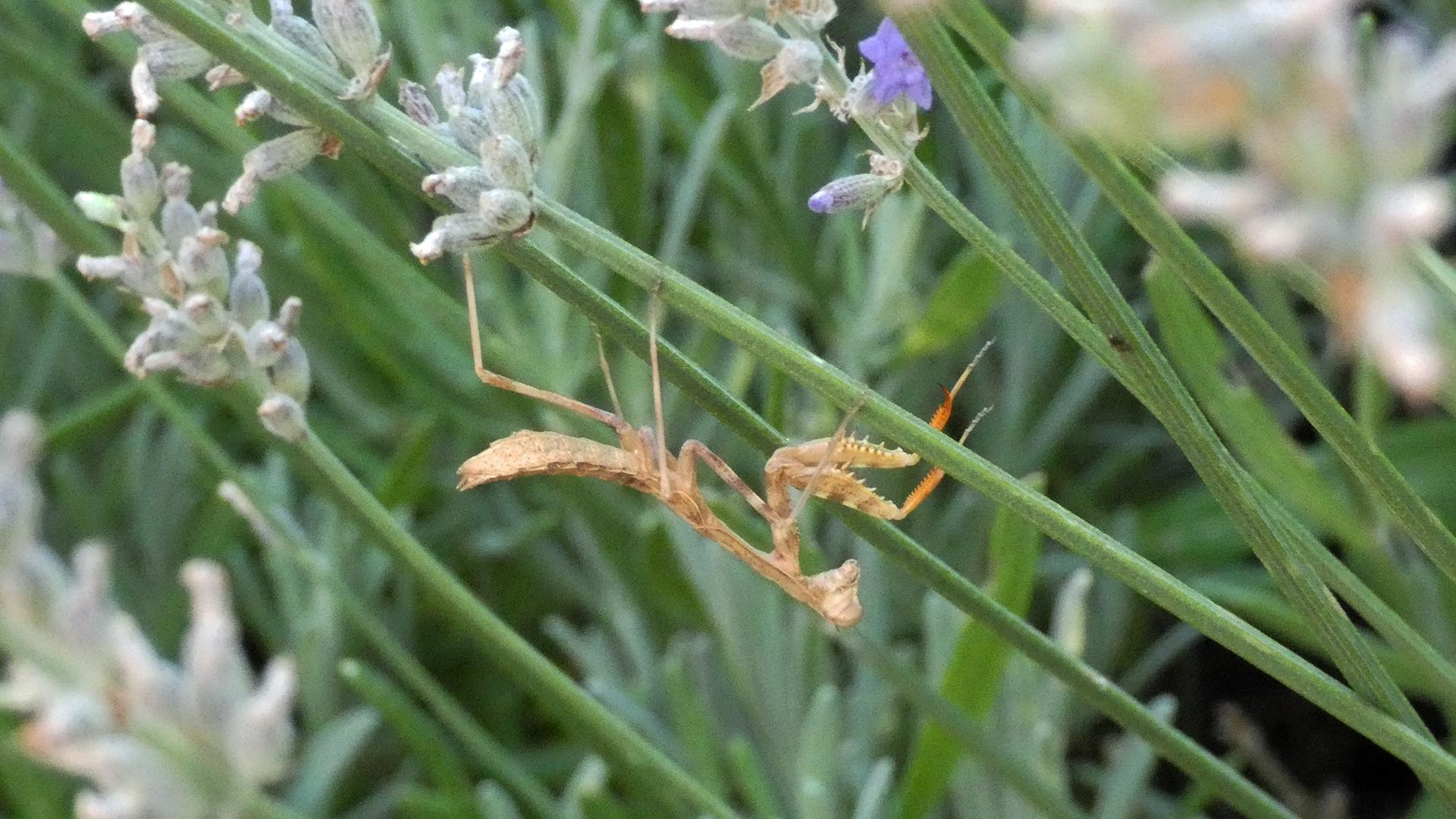 On lavender, Albuquerque, August 2021
