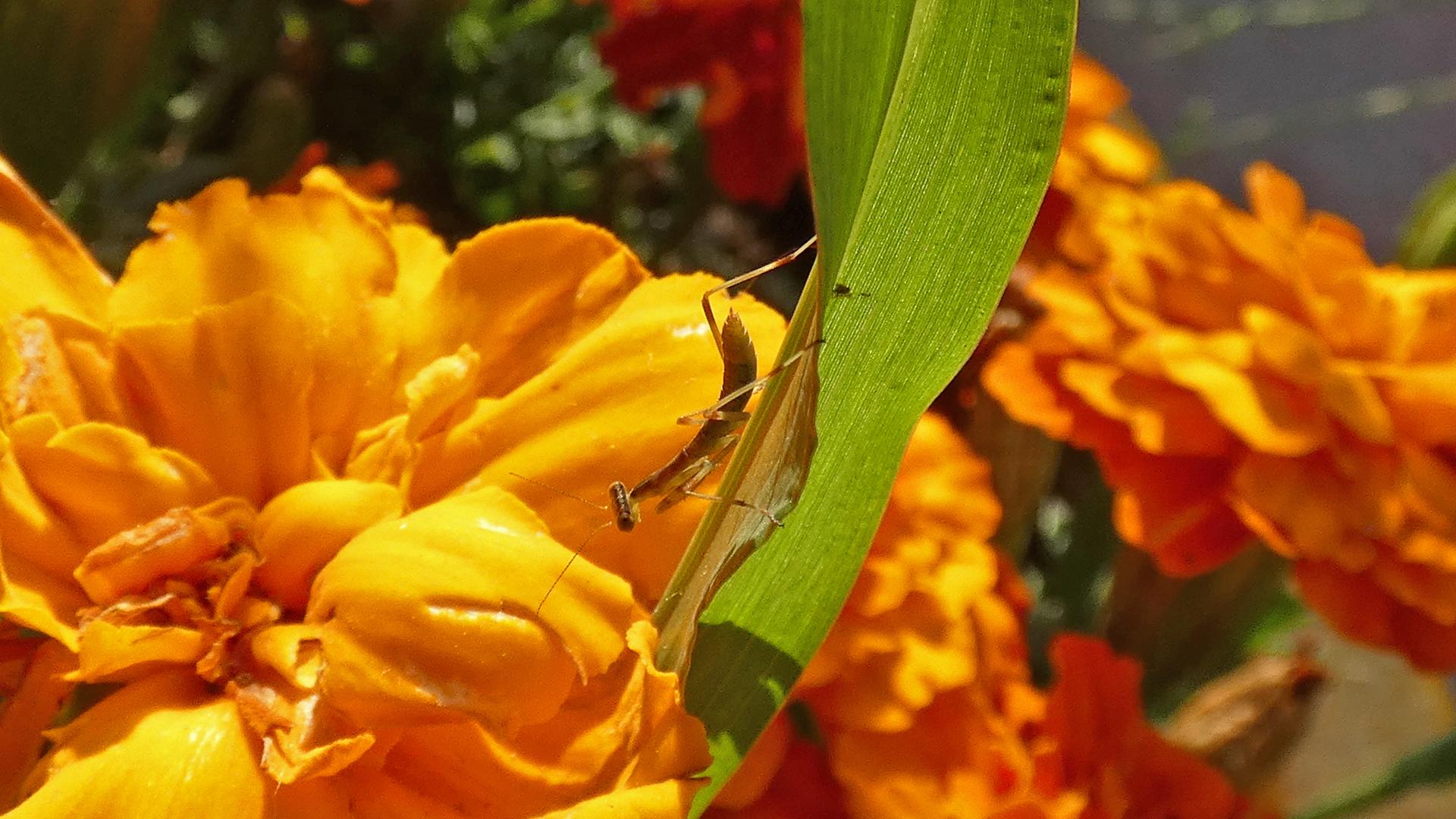 On bade of grass among marigolds, June 2021