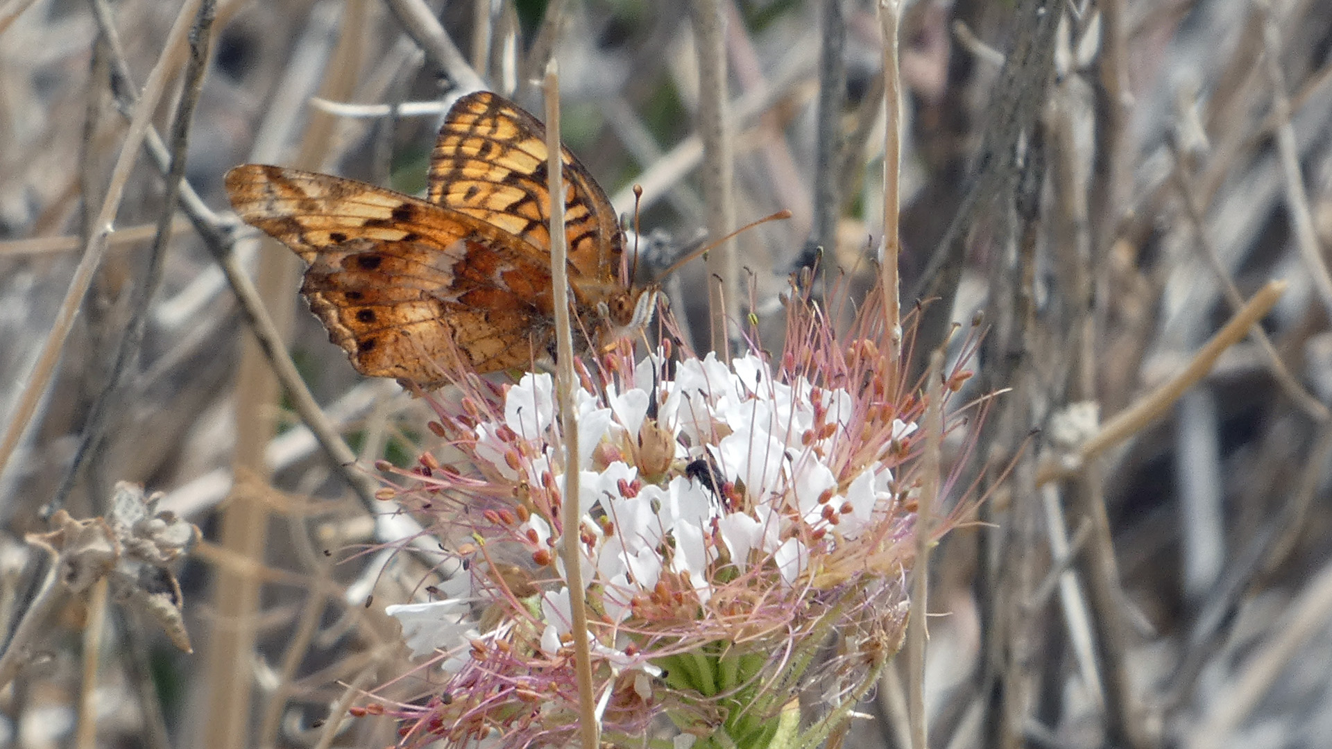On red-whiskered clammyweed, Sandia Mountains west foothills, June 2021