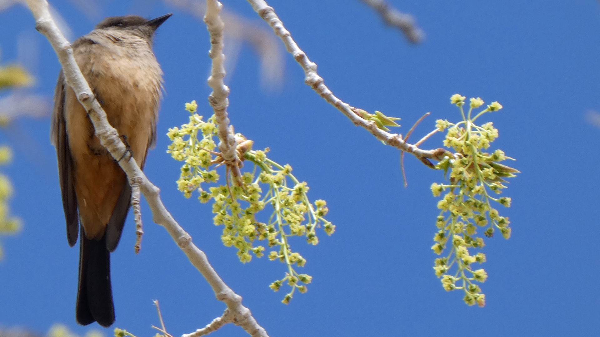 Female catkins (and Say's Phoebe), Albuquerque, April 2021