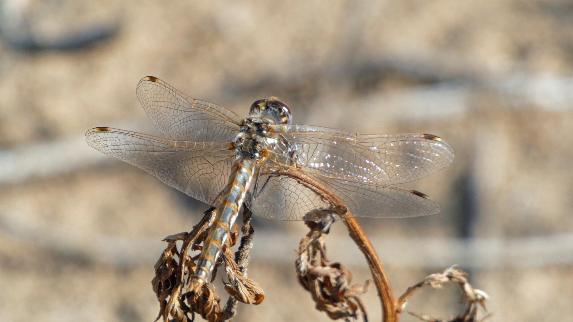 Female, Rio Grande Bosque, Albuquerque, July 2021