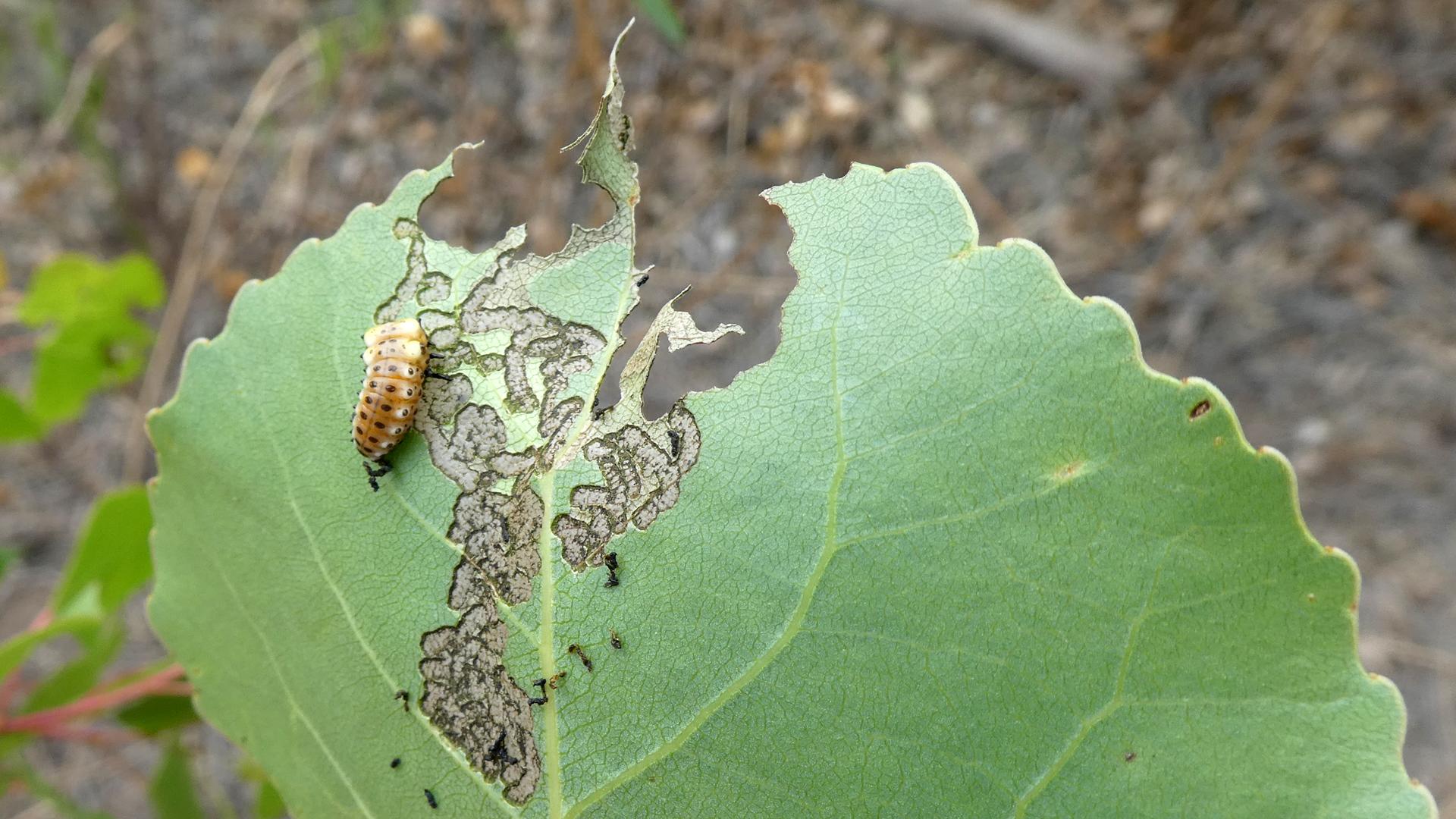 One larva's swath of destruction, Rio Grande Bosque, Albuquerque, May 2021