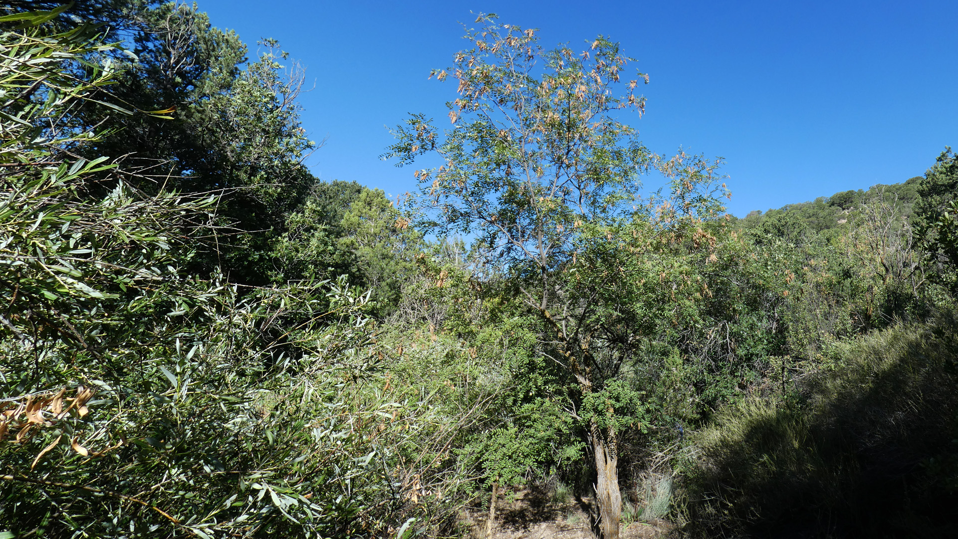 Tree at right of center, Sandia Mountains, September 2020
