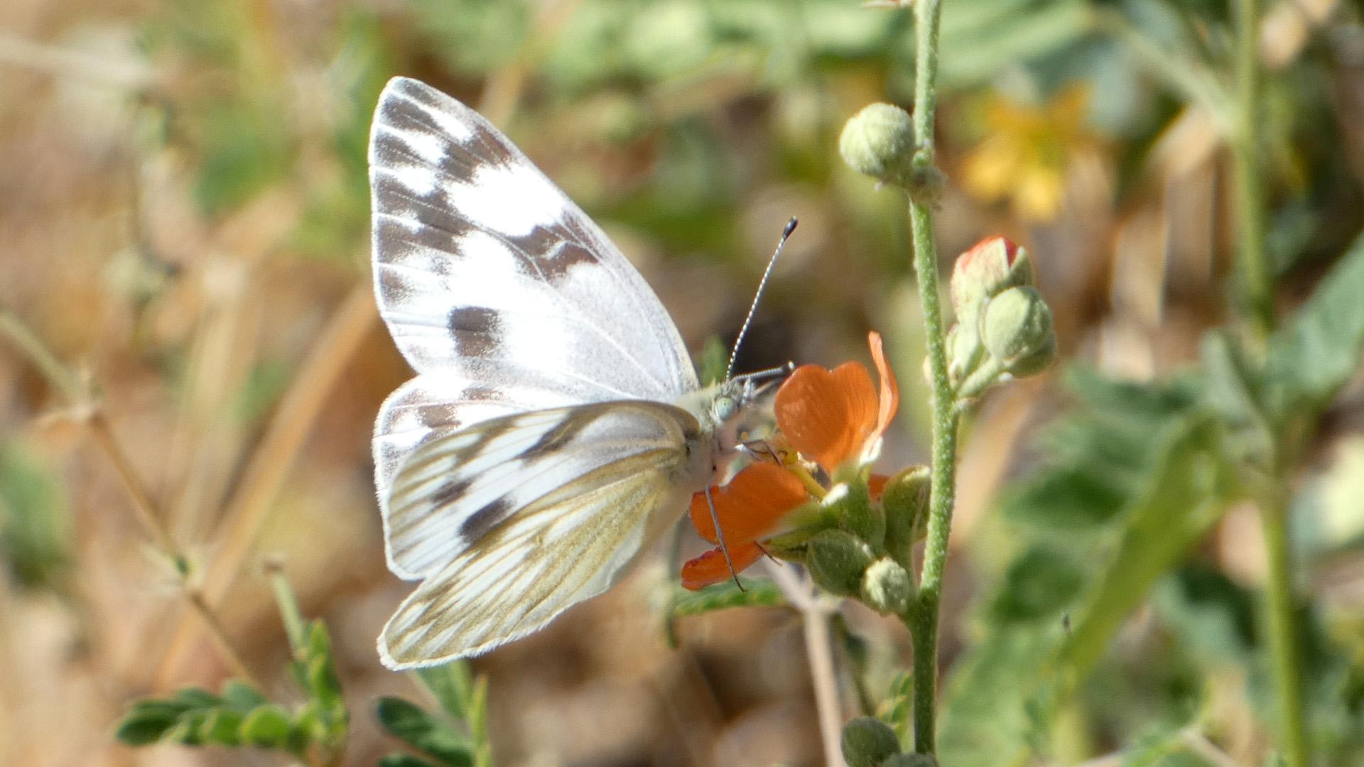 Female, Sandia Mountains west foothills, September 2021