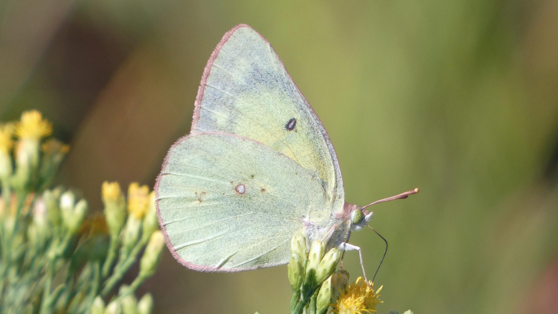 Female, Rio Grande Bosque, September 2021
