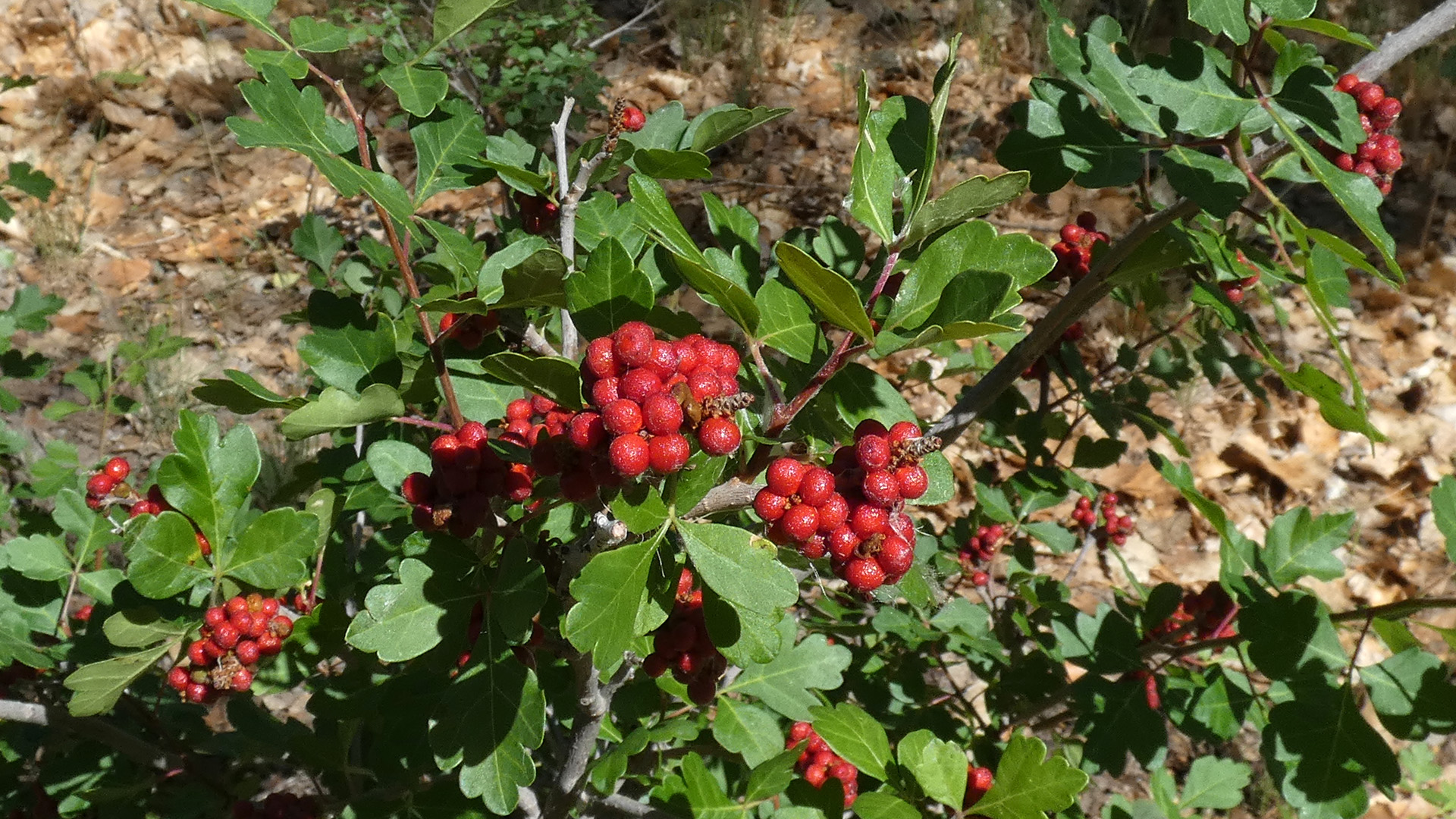 Ripe berries, Rio Grande Bosque, Albuquerque, May 2020