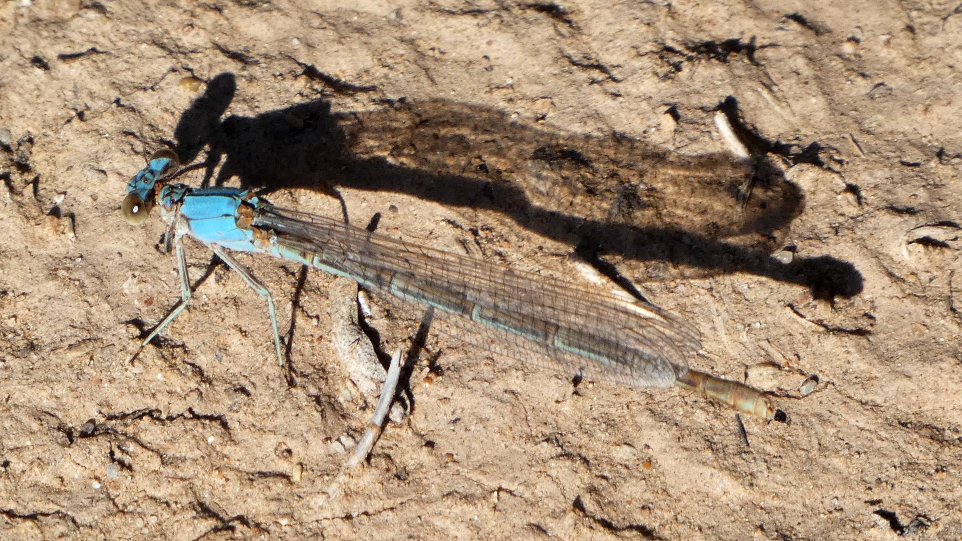 Blue form female, Albuquerque, July 2021