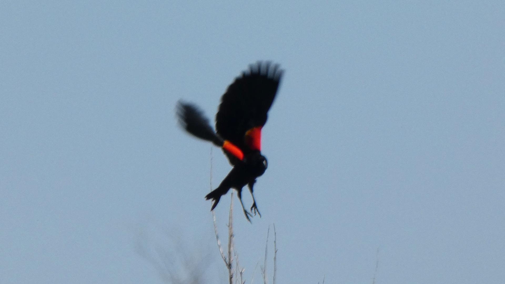 Male in flight, Rio Grande Nature Center, May 2021