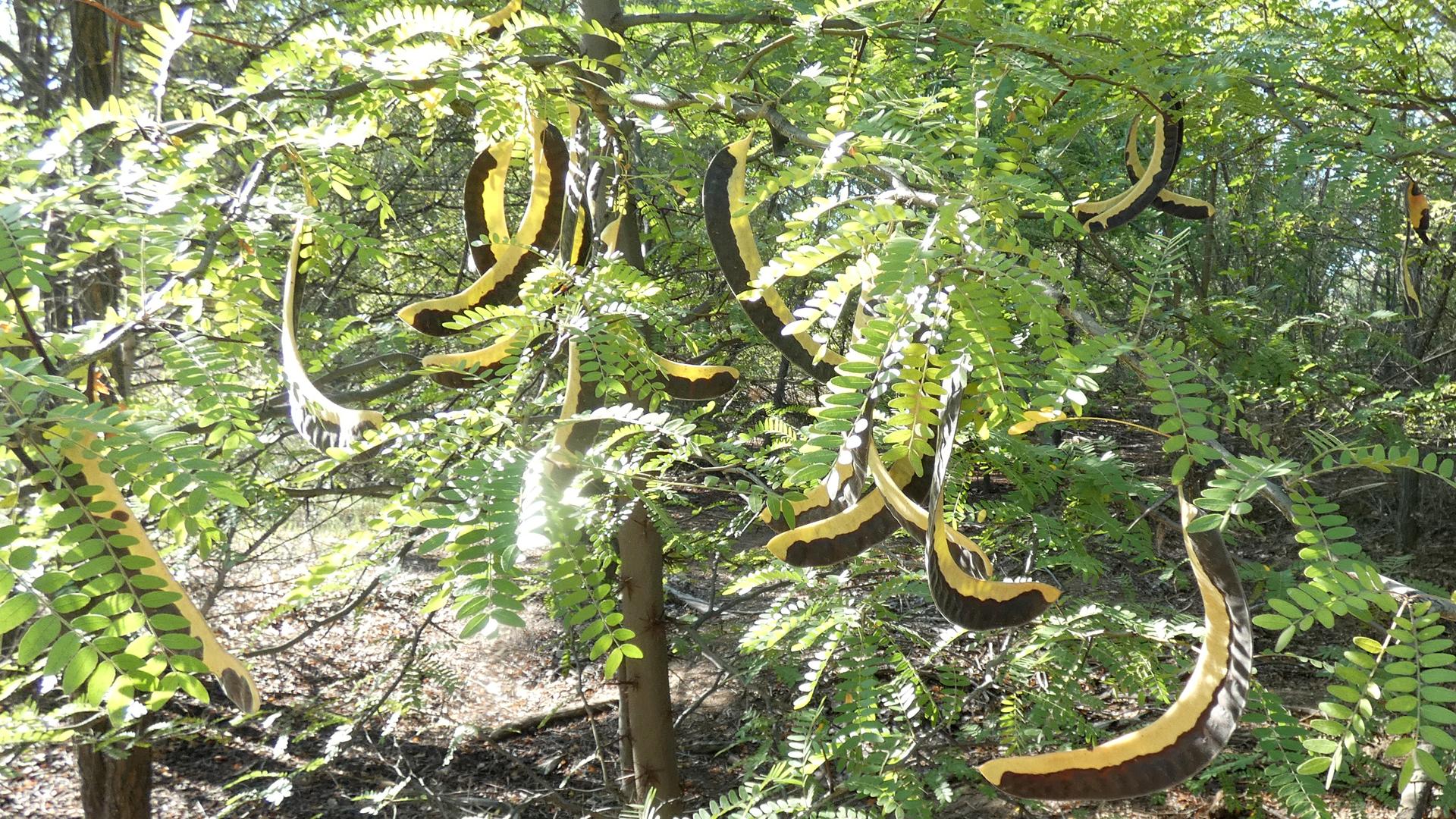 Seed pods, Rio Grande Bosque, Albuquerque, September 2021