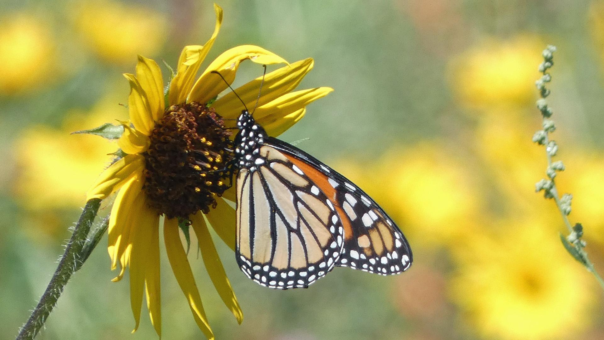 On wild sunflower, East Mountains, September 2021