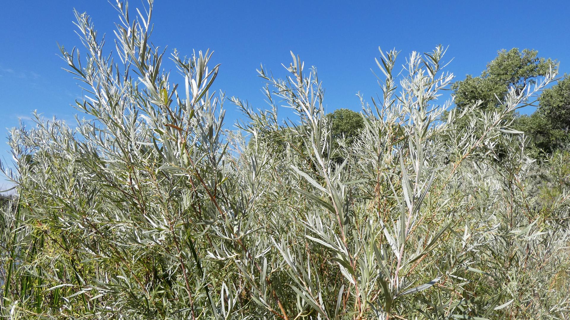Narrow-leaf willow (I think), Rio Grande Bosque, Albuquerque, August 2020