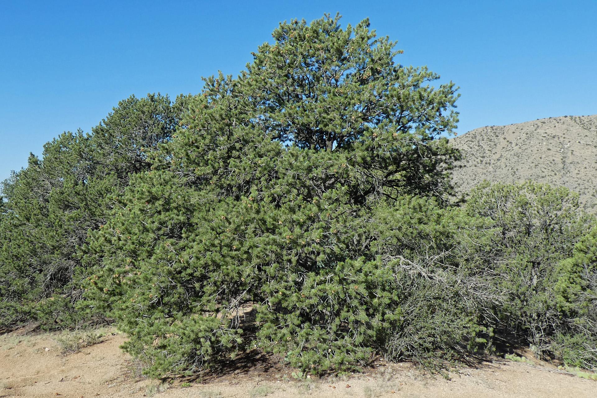 """""""Short"""" habit, Sandia Mountains, September 2020"""