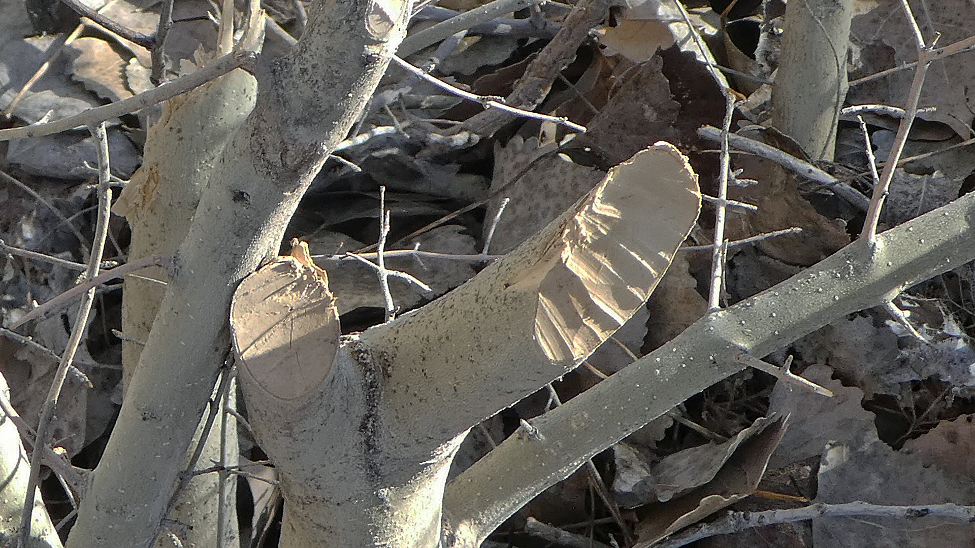 Sapling stump with tooth marks, Rio Grande Bosque, Corrales, January 2019