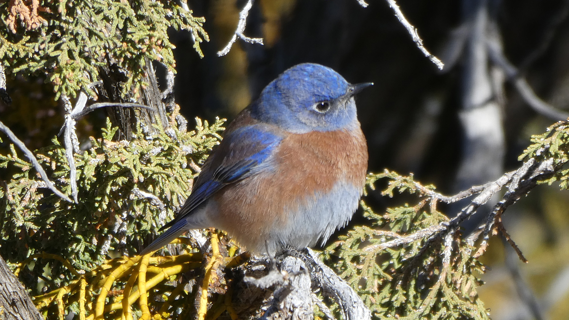 Male, Sandia Mountains west foothills, December 2020