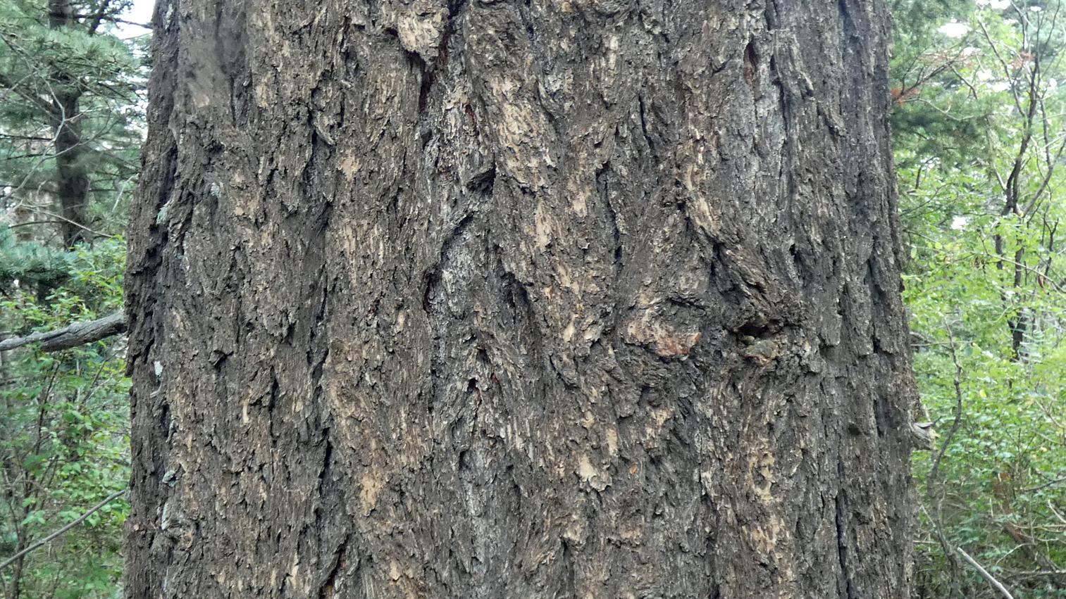 Bark on older tree