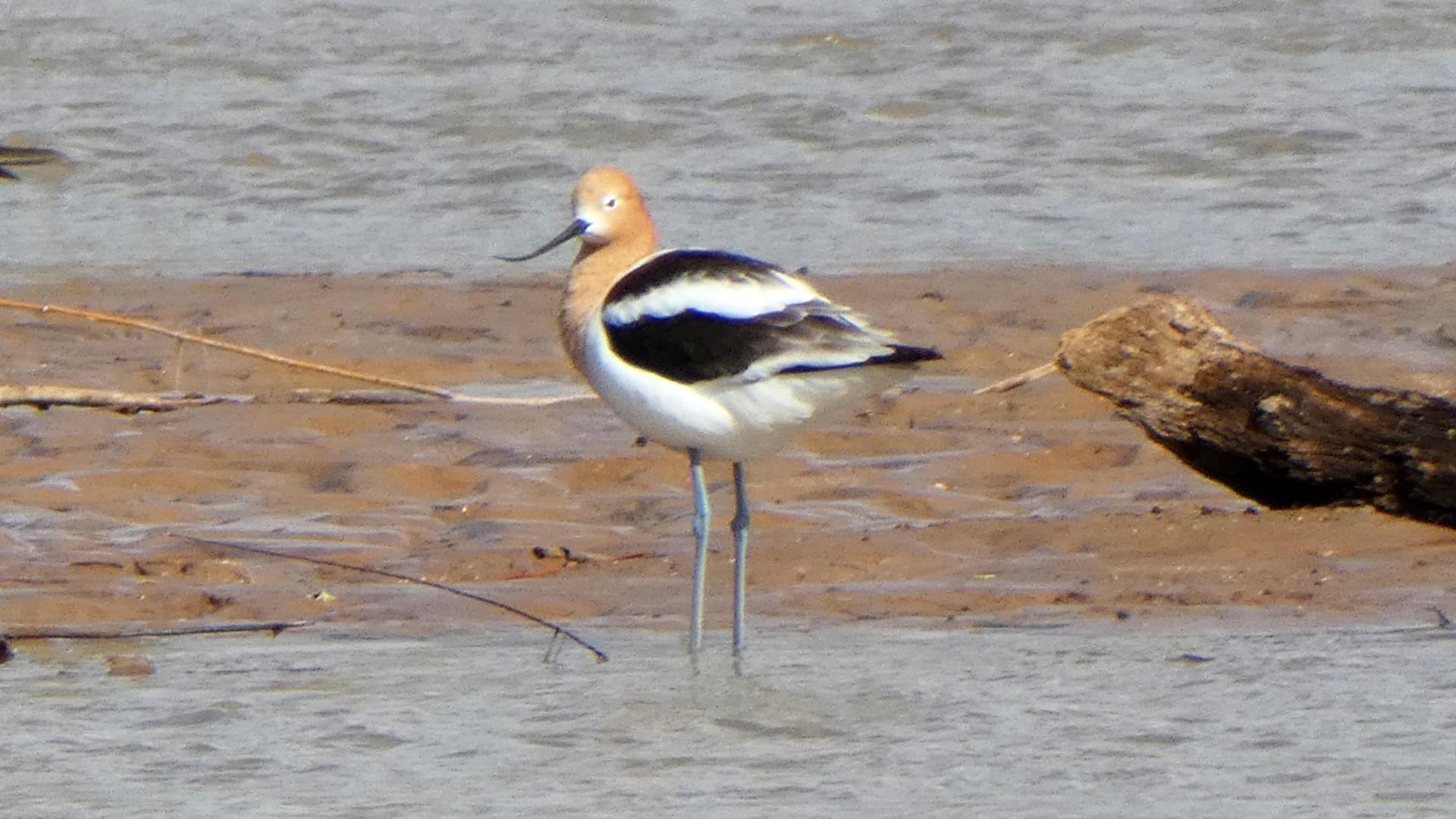 Breeding adult, Rio Grande, Albuquerque, April 2021