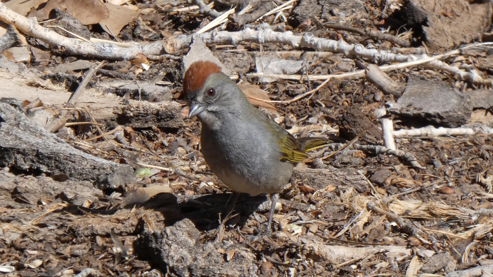 Adult, Rio Grande Nature Center, April 2021
