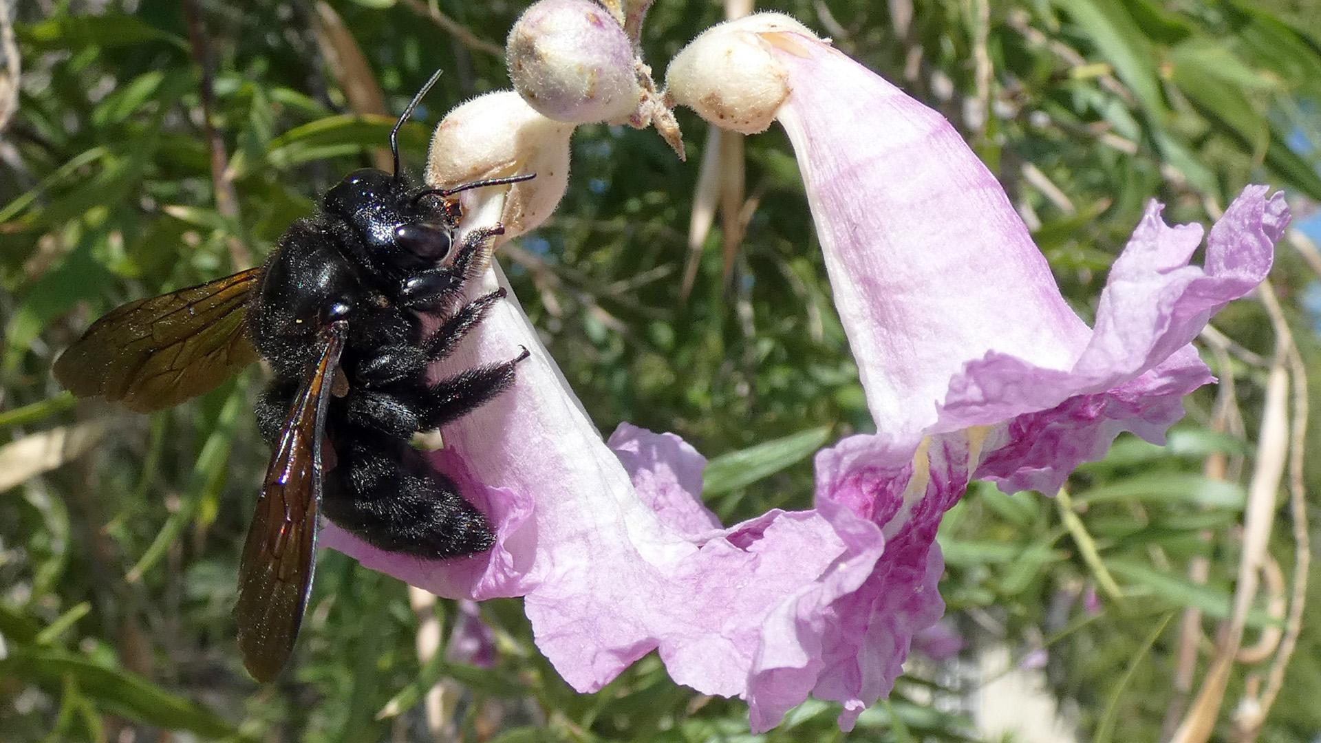 Robbing nectar from desert willow, Albuquerque, September 2020