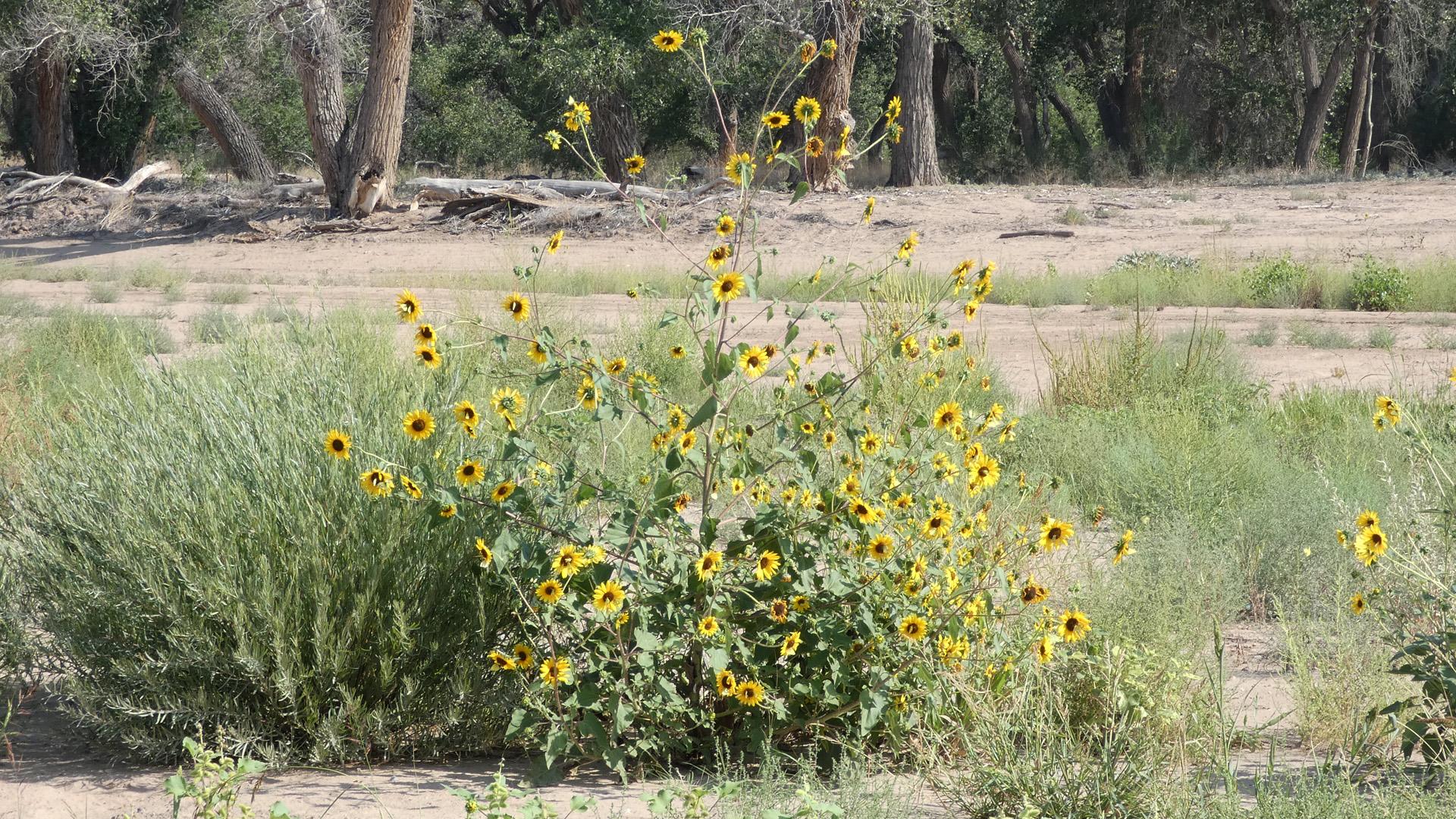 Rio Grande Bosque, Albuquerque, September 2021