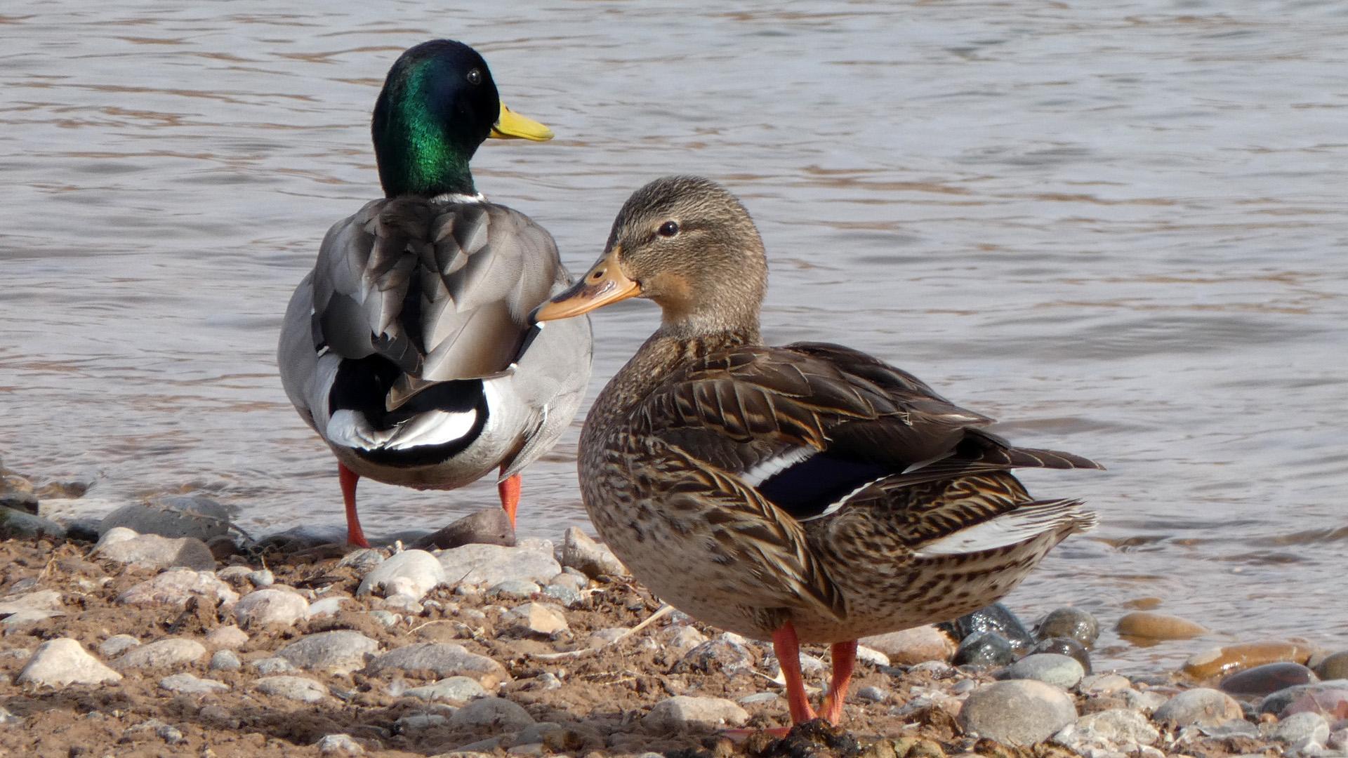 Female and male, Rio Grande, Corrales, January 2021