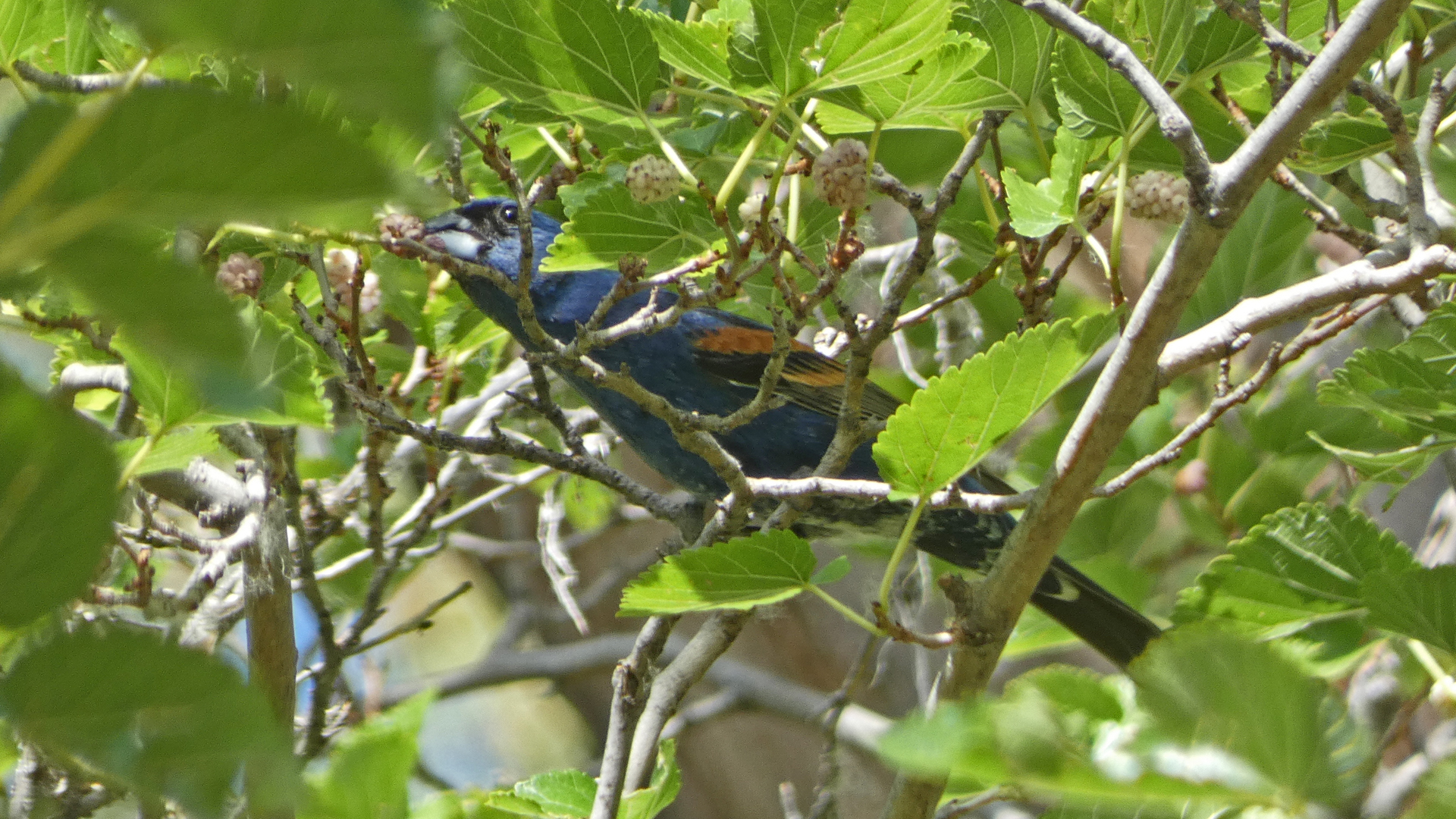Male, Rio Grande Bosque, Albuquerque, July 2021