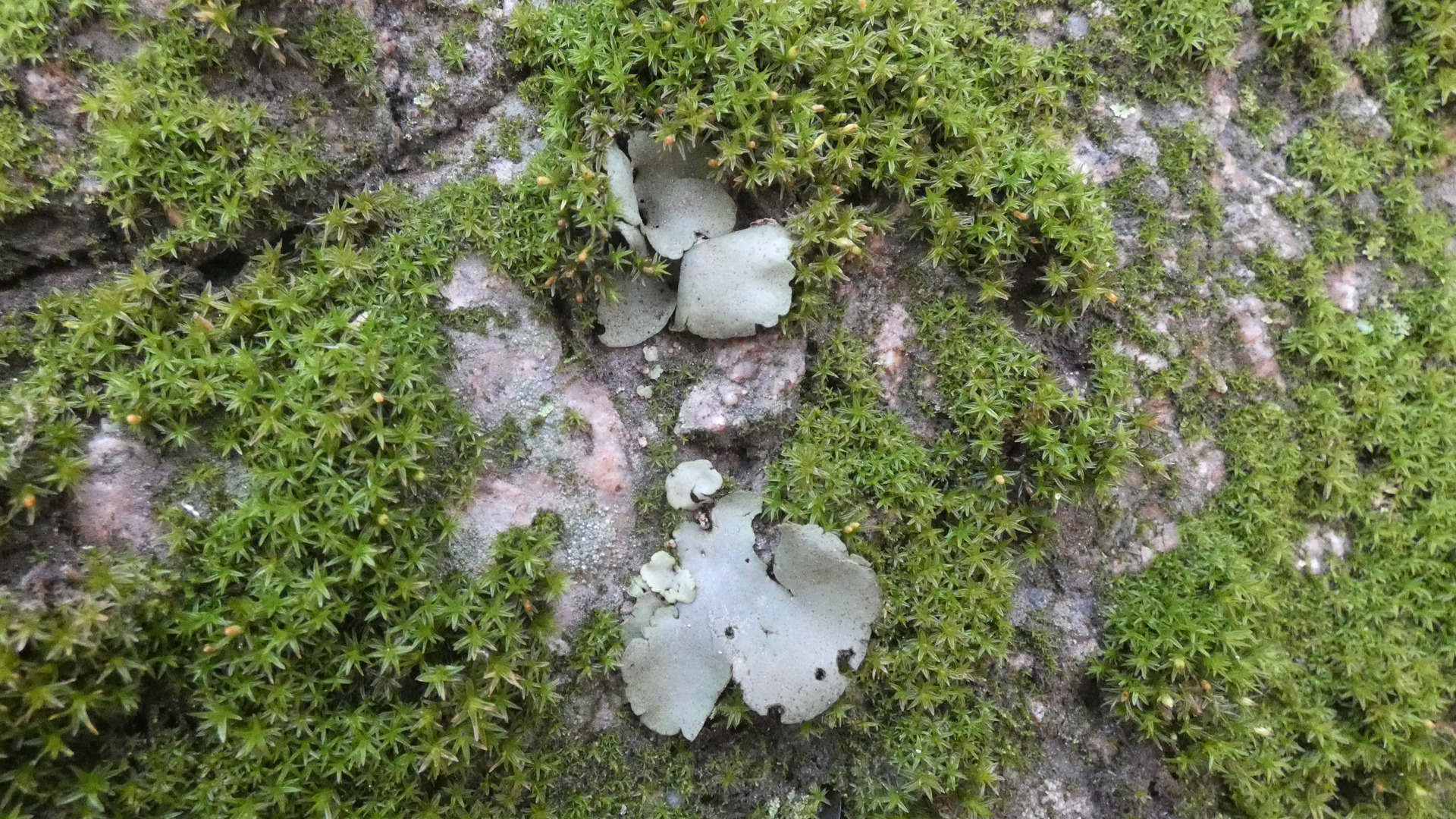 Moss on granite, with lichen at center