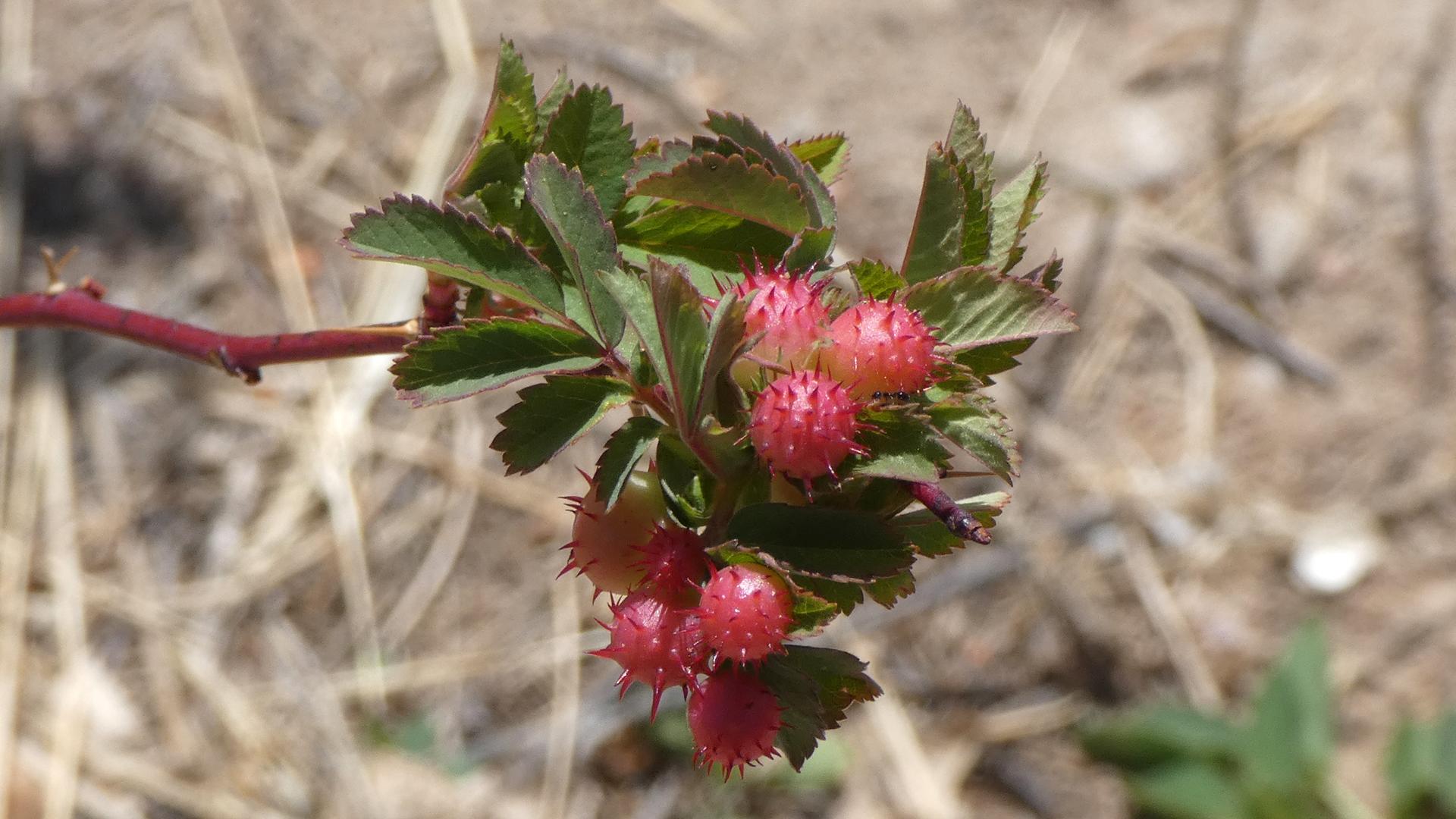 On wild rose, Rio Grande Bosque, Albuquerque, April 2021