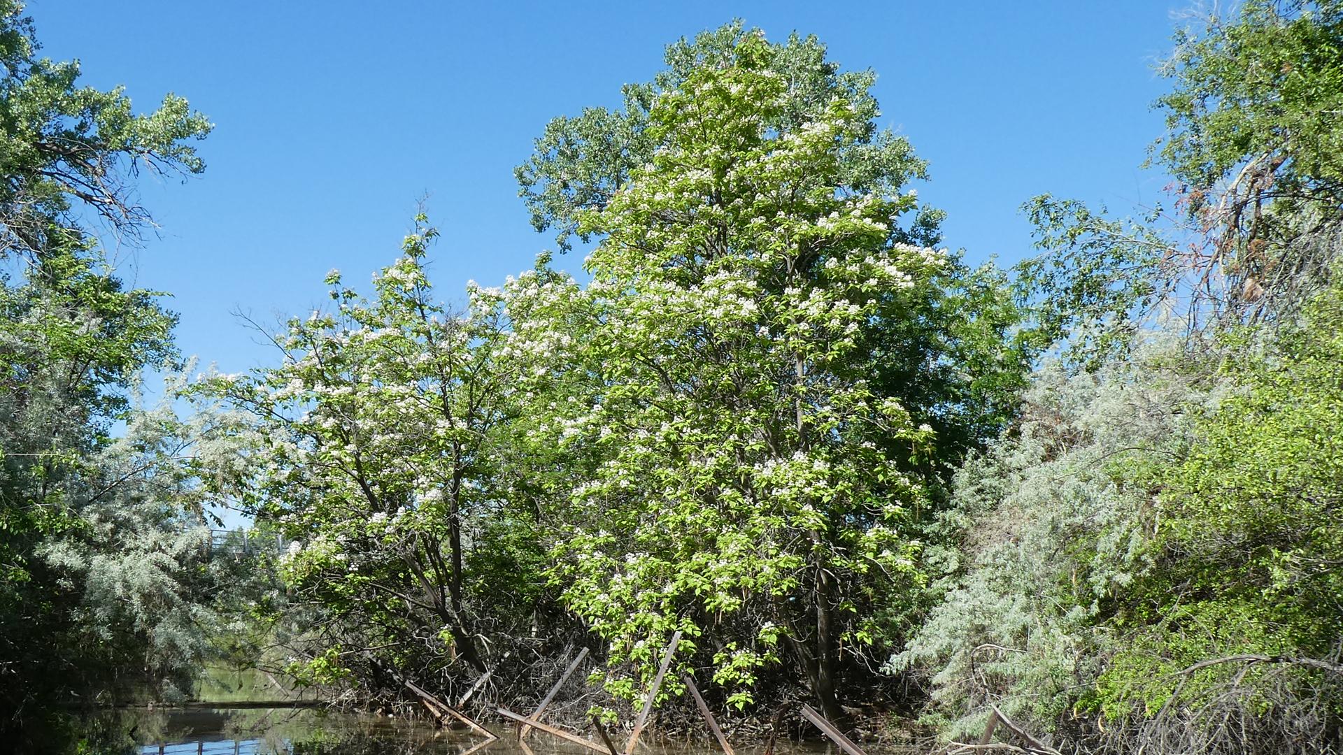 Escapee, Rio Grande Bosque, Albuquerque, May 2021