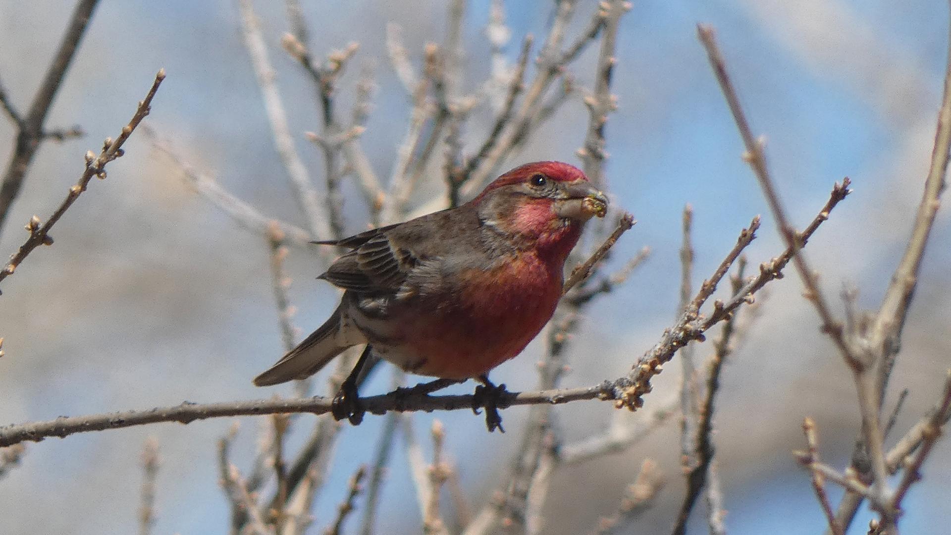Male, Rio Grande Nature Center, Albuquerque, March 2021