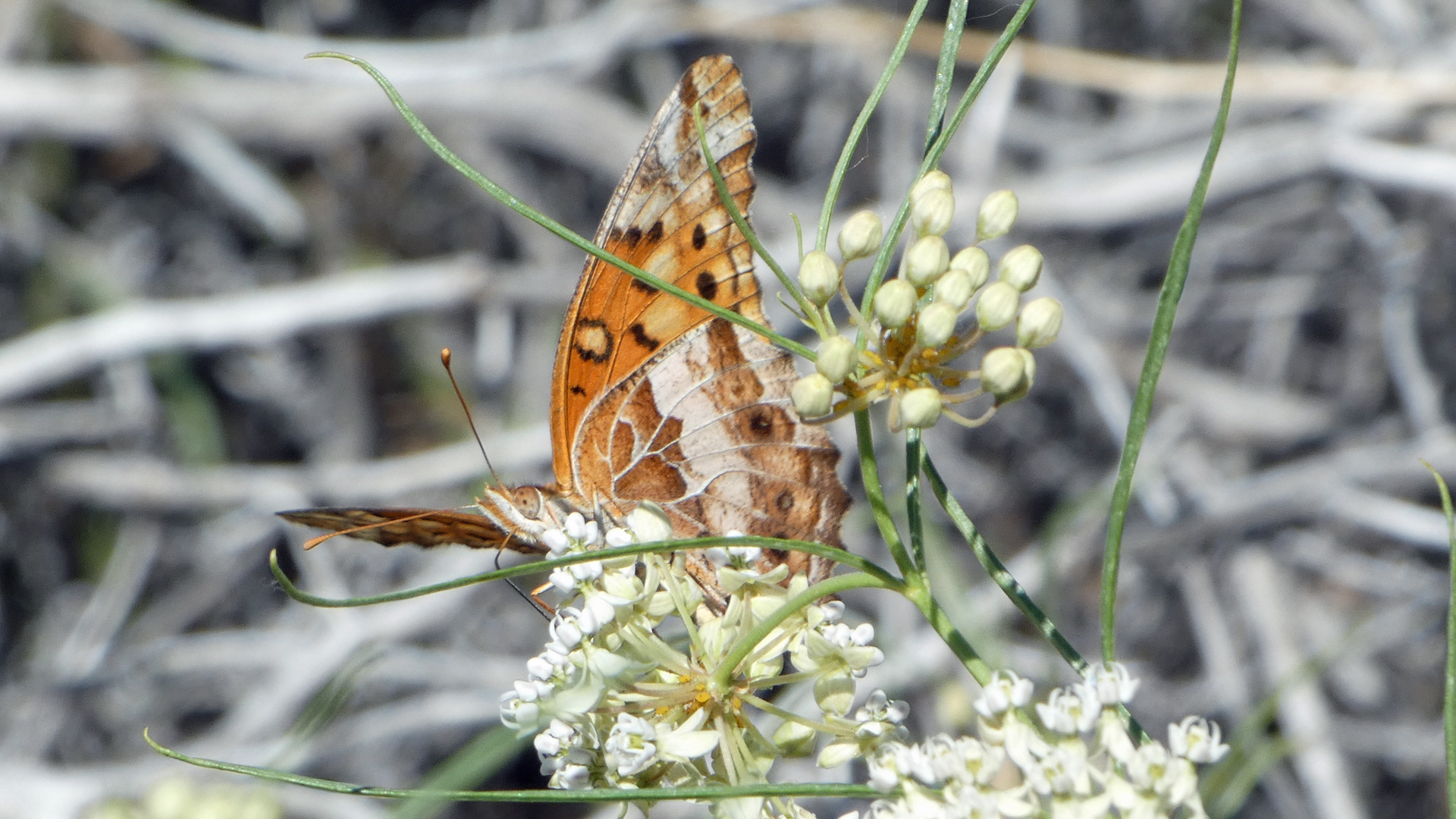On horsetail milkweed, Albuquerque, August 2021