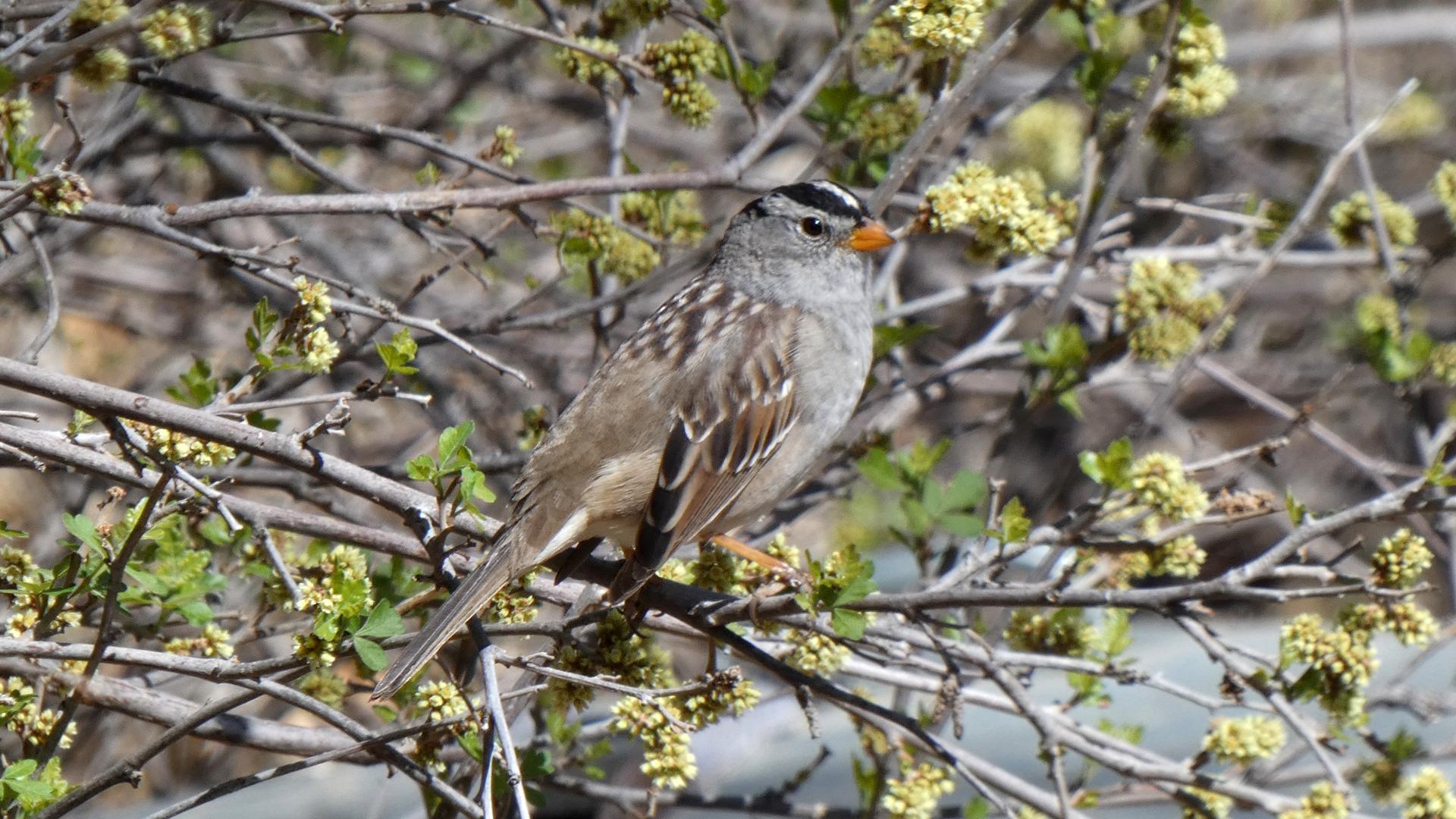 Adult, Rio Grande Nature Center, Albuquerque, April 2021