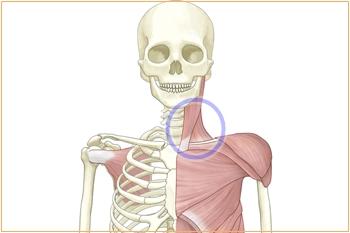 胸鎖乳突筋と首コリの関係