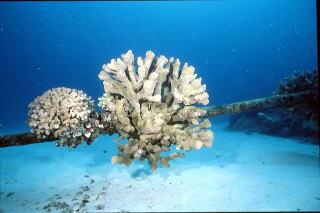 地球の海フォトコンテスト2007  環境部門 入選 「海底ケーブルに咲く」 広瀬 晴夫  ニコノスⅤ UW15mm  f8 1/60 YS-50 RVP 水深15m  撮影地:黒島