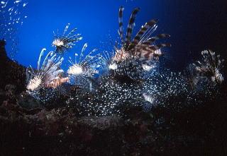 地球の海フォトコンテスト2005  自由部門 入選 「打ち上げ花火」 広瀬 晴夫 ニコンF4 16mmフィッシュアイ   ネクサスF4PRO  f5.6 1/60 YS-50×2 RVP 水深28m  撮影地:石垣島大崎