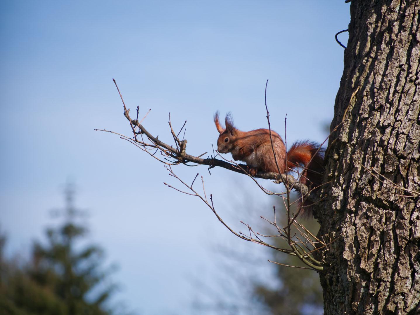 F 042 - Michael Heim - Eichhörnchen auf Ast