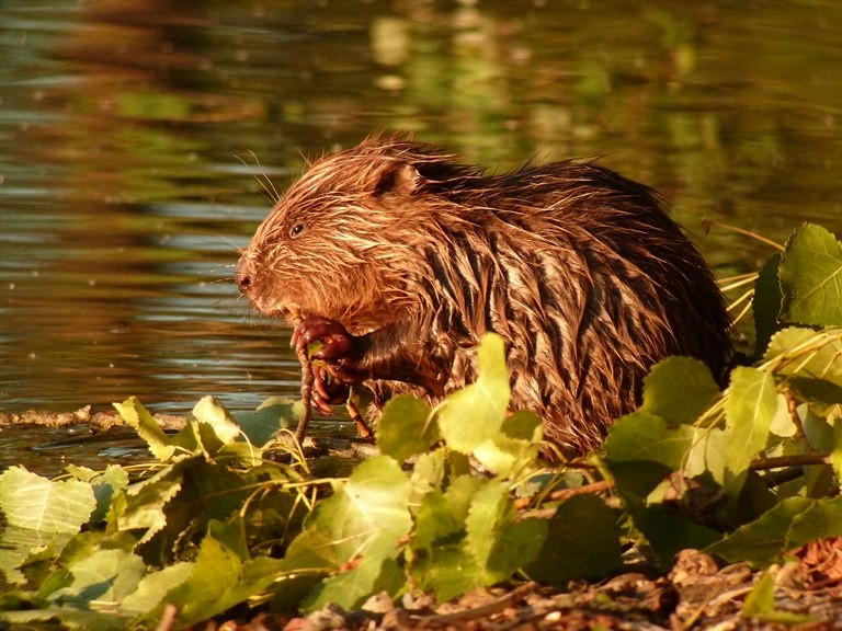 S'il est difficile d'apercevoir le castor, on peut observer facilement des traces de son passage. ©CPIE Loire Anjou