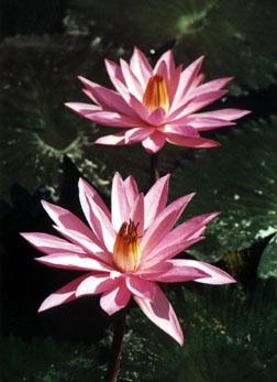 Lotosblüten. c: C. Kosmus