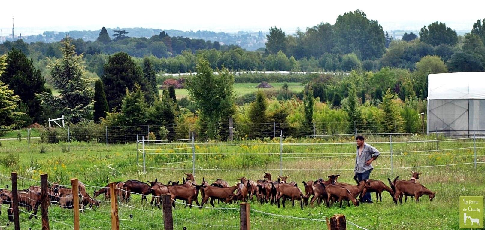 Après une bonne nuit de sommeil et la traite, nos chèvres vont brouter leur prairie, ici accompagnée de Thierry.