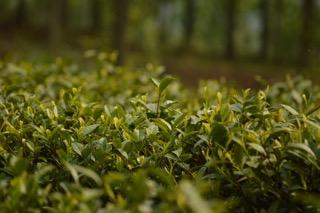 de part le monde une multitude d'artisans œuvre à la sauvegarde du thé
