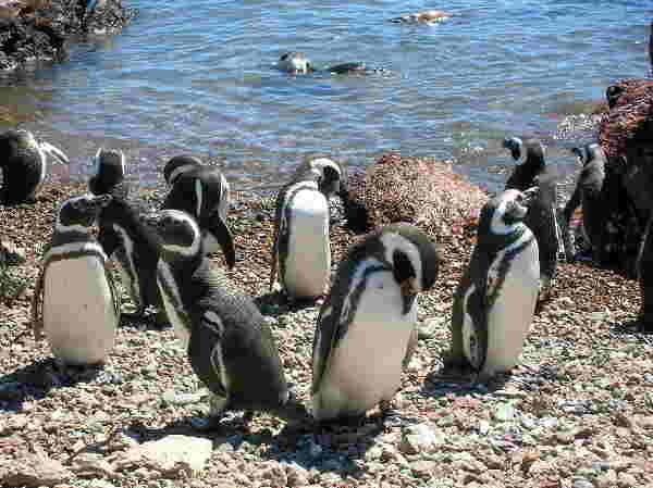 Magellan-Pinguine, Argentinien
