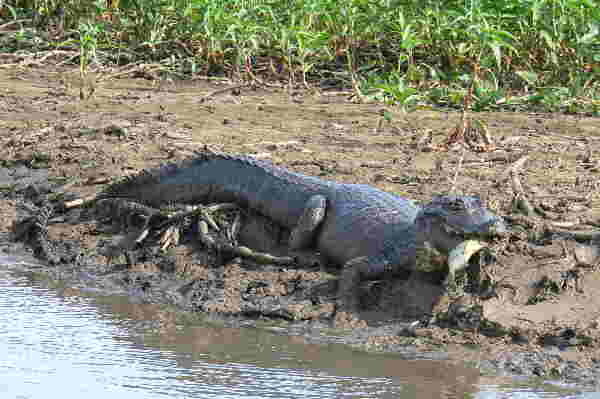 Jacaré mit Piranha, Pantanal