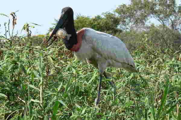Jaburú, Pantanal