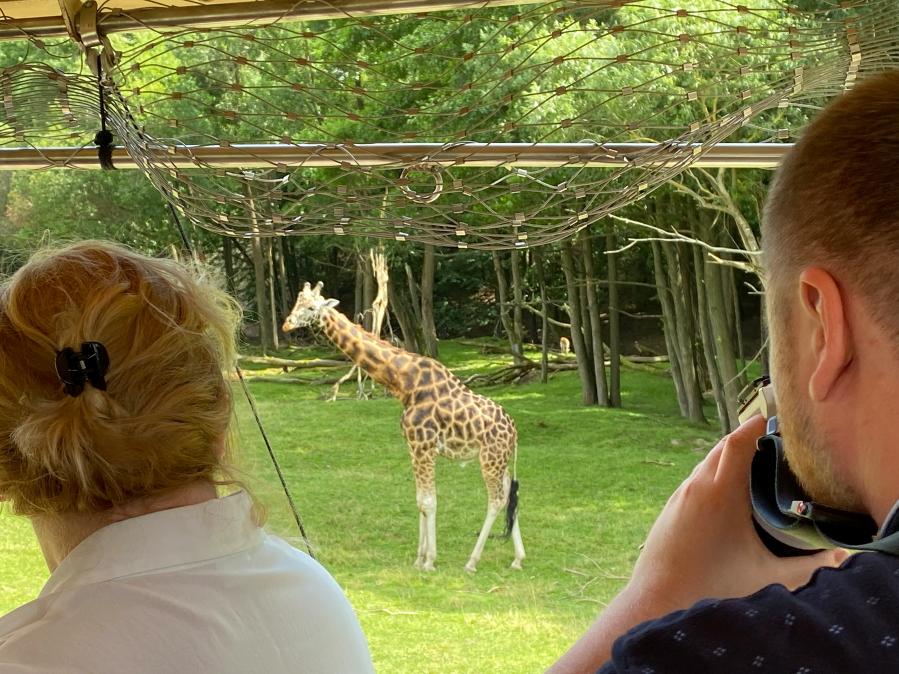 Dvůr Králové zoologijos sode į gyvūnus galima žvalgytis iš safario automobilio