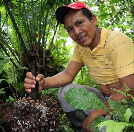 Šuaras Ju su palmės vaisiumi Moronos Santjago provincijoje Ekvadoro Amazonijoje