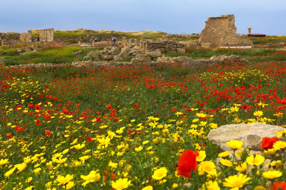Pafoso rūmų griuvėsiai Kipre tarp žydinčių gėlių