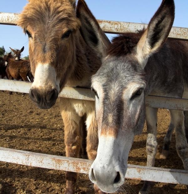 Asilaitė Sofi Loren ir kitos Kipro įžymybės Goden Donkeys farm