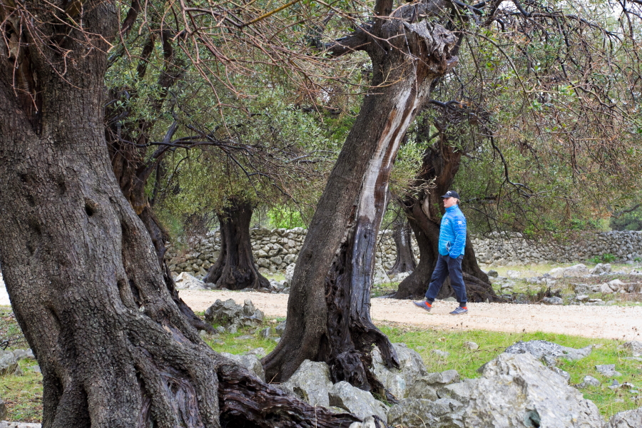 Luno alyvmedžių giraitė Pago saloje - Kroatija