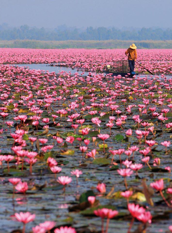 Rožiniai lotosai Sakon Nakhono provincijoje telkšančiame Nong Hano ežere